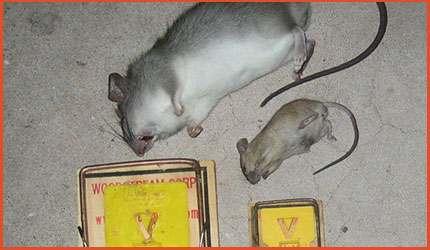 Mice-&-Rat-Removal